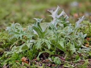 Hirschhornflechte oder Isländisches Moos (Cetraria islandica)?