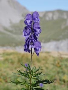 Dichtblütiger Blau-Eisenhut
