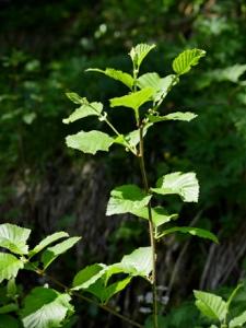 Grün-Erle