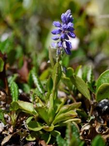 Voralpen-Kreuzblume