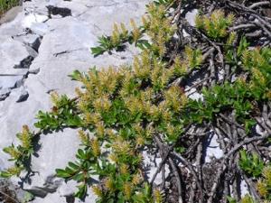 Stumpfblättrige Weide