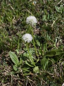 Schaft-Kugelblume
