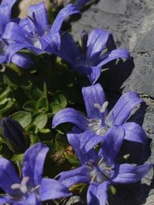 Mont Cenis-Glockenblume