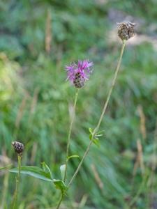 Alpen-Skabiosen-Flockenblume