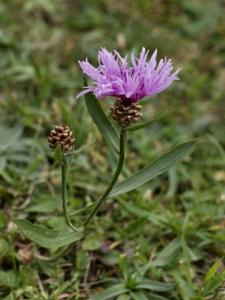 Gewöhnliche Wiesen-Flockenblume
